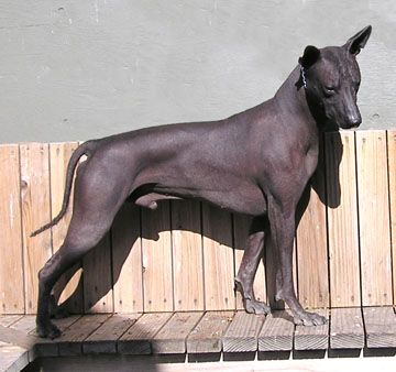 Indian Xolo Mix Animals Mexican Hairless Dog Pets