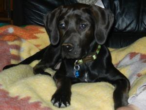 Adopt Myla On Petfinder Labrador Retriever Dog Puppies Treeing Walker Coonhound