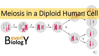 This PowerPoint Animation Follows A Diploid Human Cell As It Undergoes Meiosis And Crossing Over In Order To Make 4 Haploid Cells