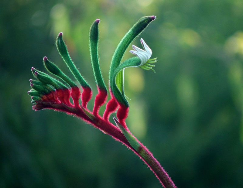 Anigozanthos Bushfling Flowering Spring Summer Winter Autumn Aspect Full Sun Drought In 2020 Colorful Landscaping Australian Native Flowers Landscaping With Rocks