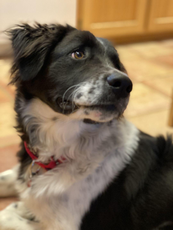 Adopt Frankie on Border collie, Cute little puppies