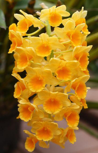 Orchidea Dendrobium Densiflorum Flora Flowers Beautiful Orchids Orchid Flower