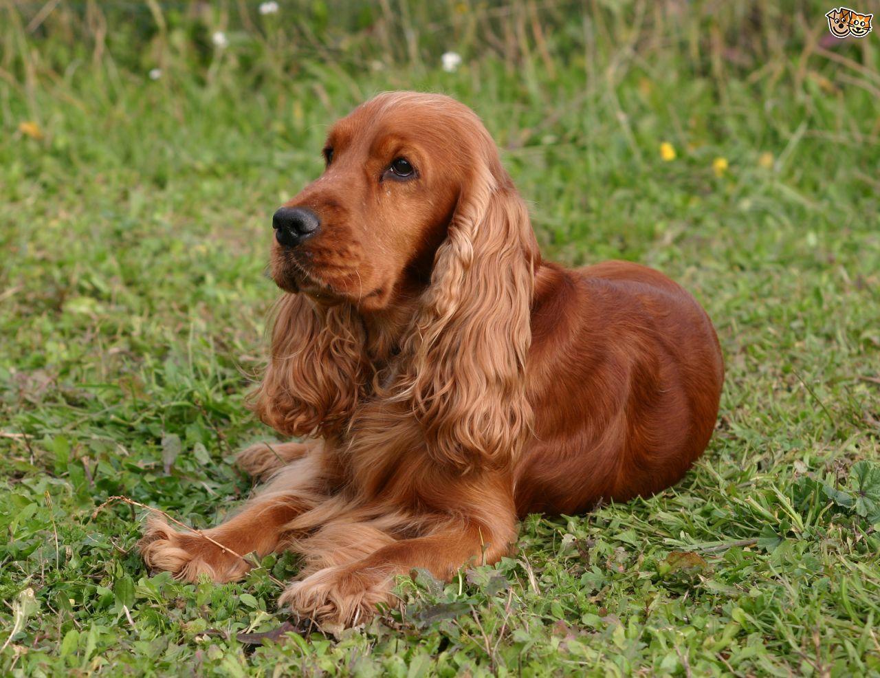 Cocker Spaniel Profile, Small Dog Breeds Best SLC Dog