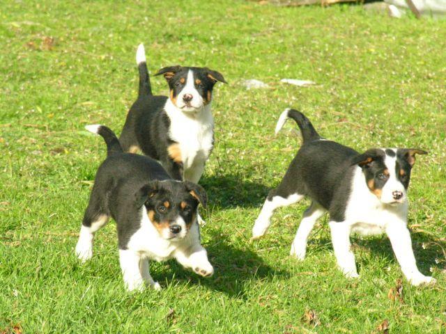 New Zealand Heading Dogs