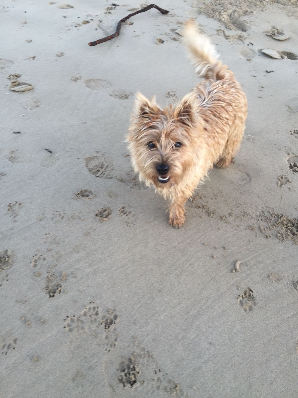Jazzy The Cairn Terrier At Her Favourite Place In The World The