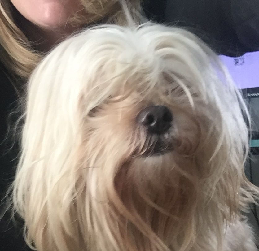 Found Dog Shih Tzu Tallahassee Fl United States Found Dogs