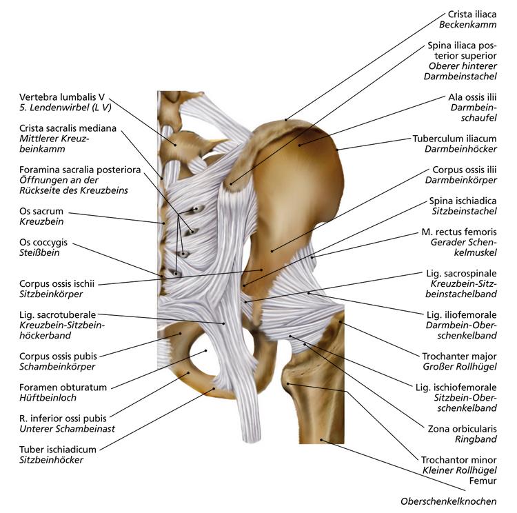 Hüftgelenk | Anatomie, anatomy. | Pinterest - Biologie, Anatomie en ...