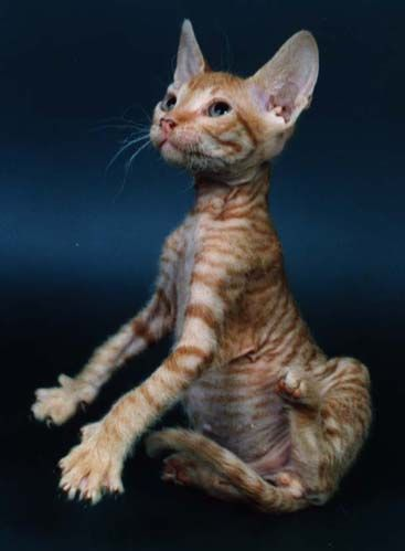 hairless cat...how sweet he is...