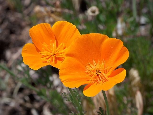 Unikko, California, Tankoteelmät, Kukka, Kasvi