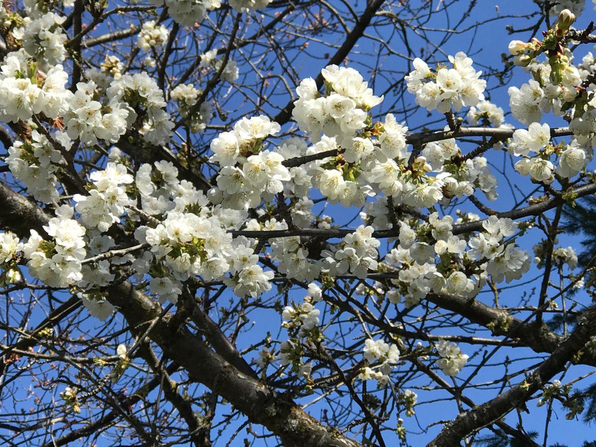 White Japanese Cherry Blossoms Japanese Cherry Blossom Japanese Cherry Blossom