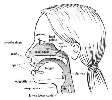 Great visual of how your    voice    works Your resonators  Articulators  Vocal tract How to roll
