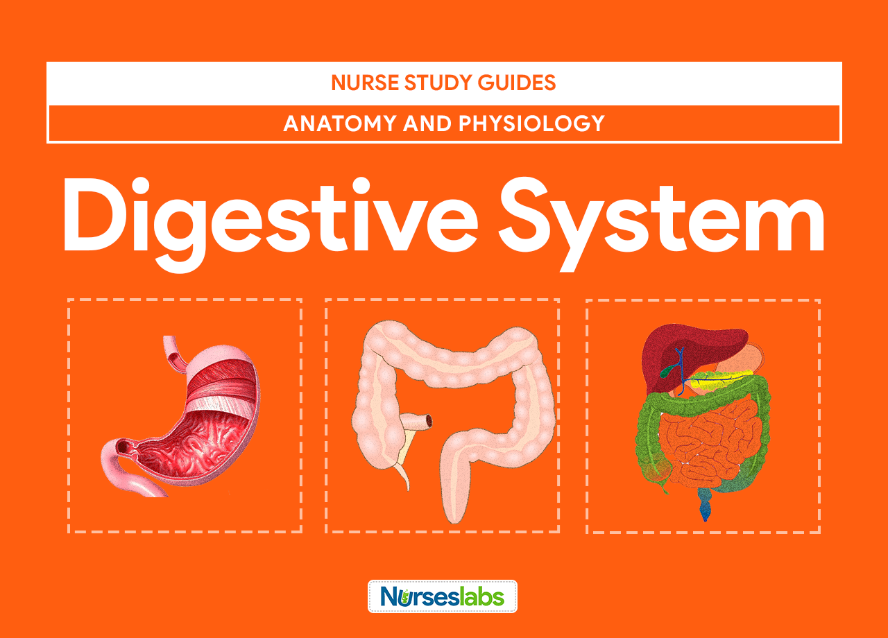 Digestive System Anatomy and Physiology | Ciencia