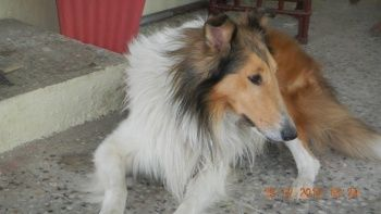 Rough Collie Pups For Sale Puppies For Sale Rough Collie Collie