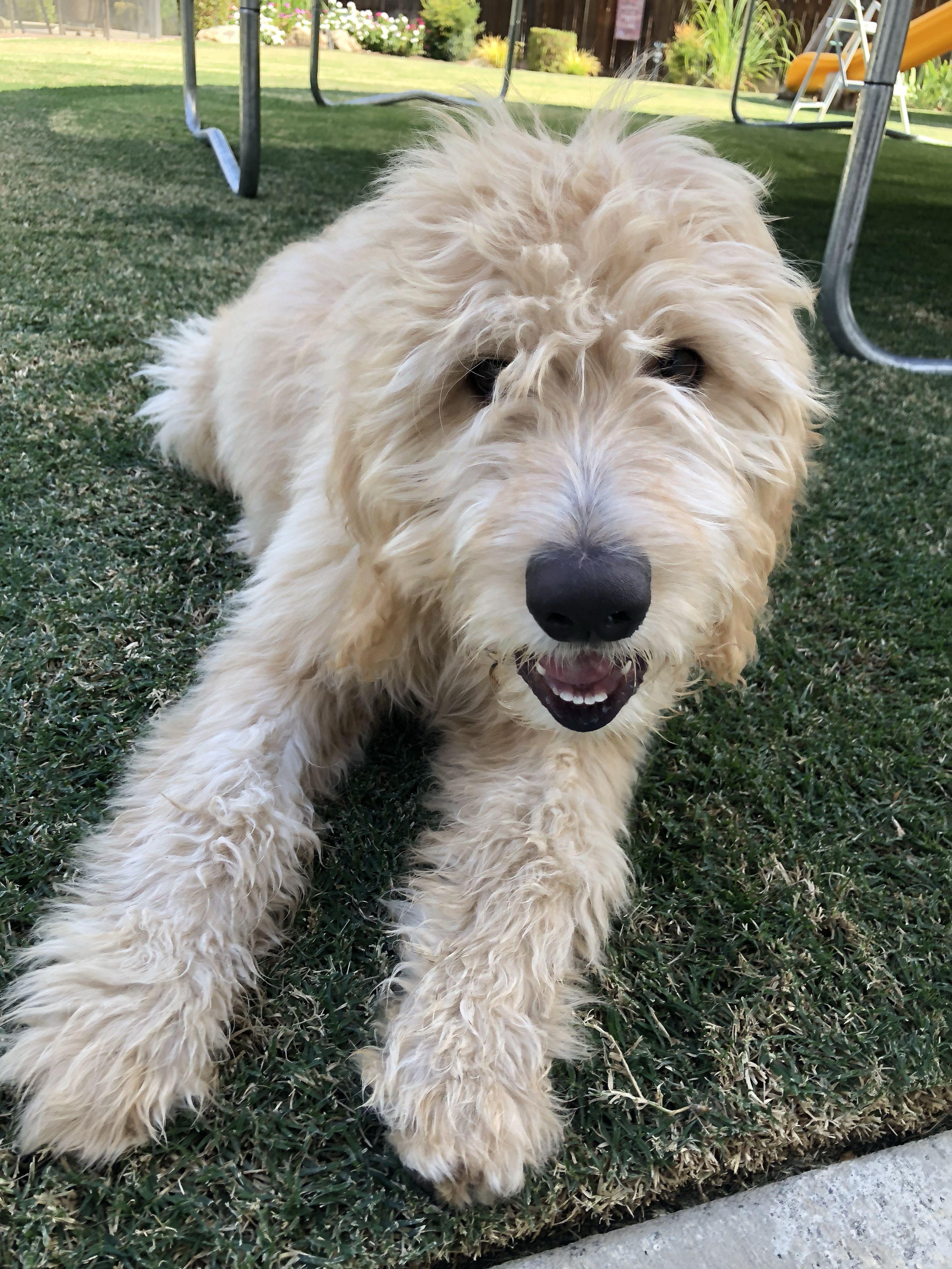 Golden Doodle Puppy Training At Dogspring Training Fresno Clovis