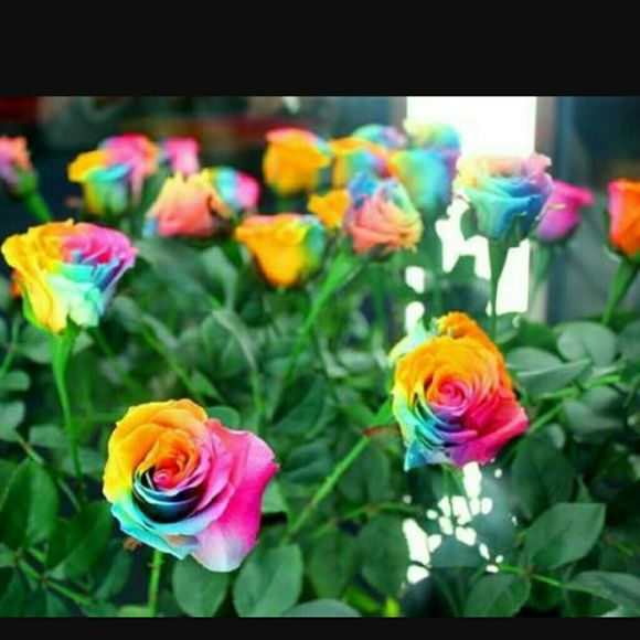 Rainbow Roses seeds | Seeds, Seed starting and Plants