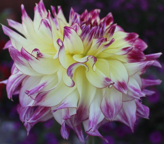 Zoey Rey  Dahlia Tuber by DavesDahlias on Etsy