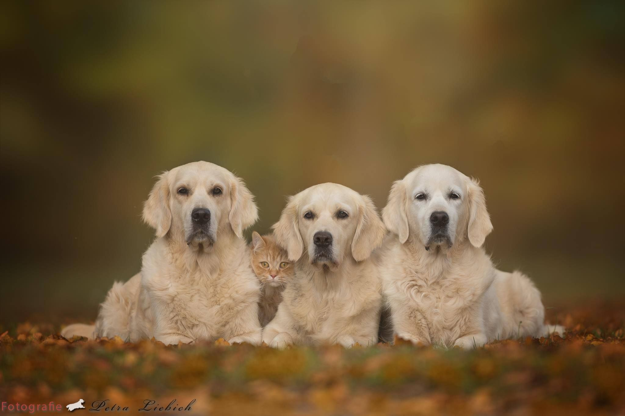 Pin By Marian Maulis On Dogs Dogs Golden Retriever Dog Lovers