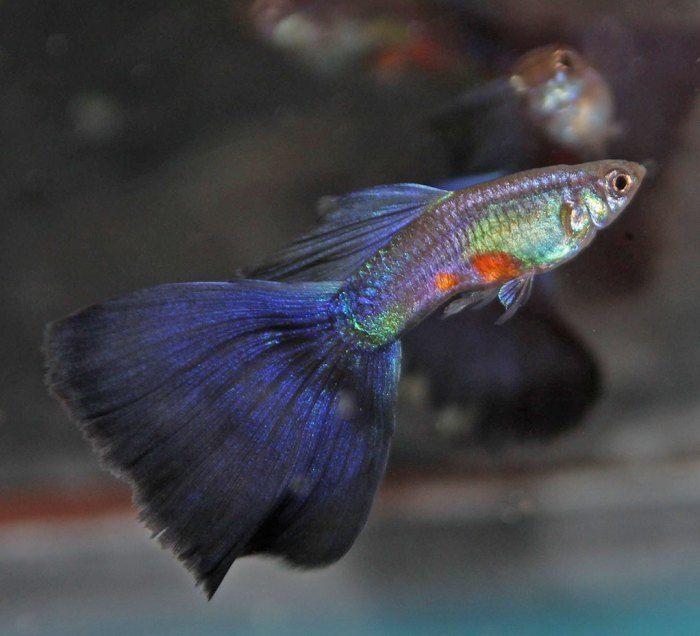 purple delta guppy