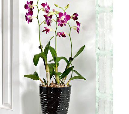Purple Dendrobium Orchid Gardenista White Flower Farm Orchids Dendrobium Orchids