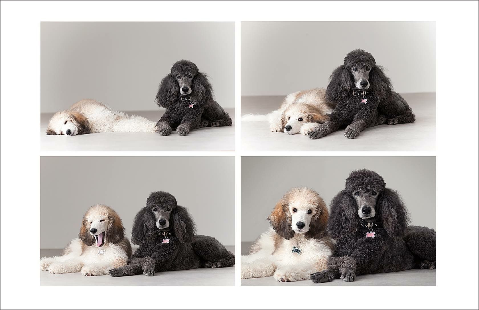Cynthia Moore Photographer Isleof Standard Poodle Breeder London