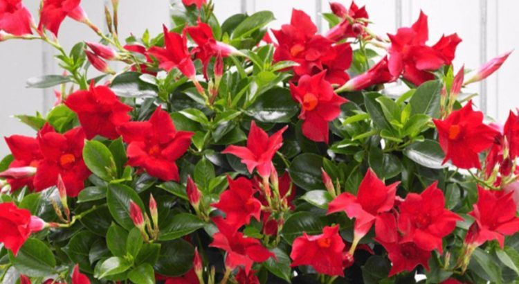 How To Grow And Take Care Of Your Dipladenia Front Yard Landscaping Front Yard Garden Care