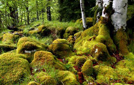Los musgos son generalmente los primeros organismos que se instalan sobre el sustrato y superficies rocosas