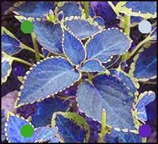 Best Blue Plants For Containers In The Shade Blue Coleus Plant For Shade and Mainly Found In Seed On Amazonblue Coleus Plant For Shade and Mainly Found In Seed On Amazon