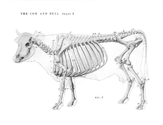 Comparative Anatomy Of Forelimb Of Camel Ox And Horse: 동물 해부학, 염소, 동물