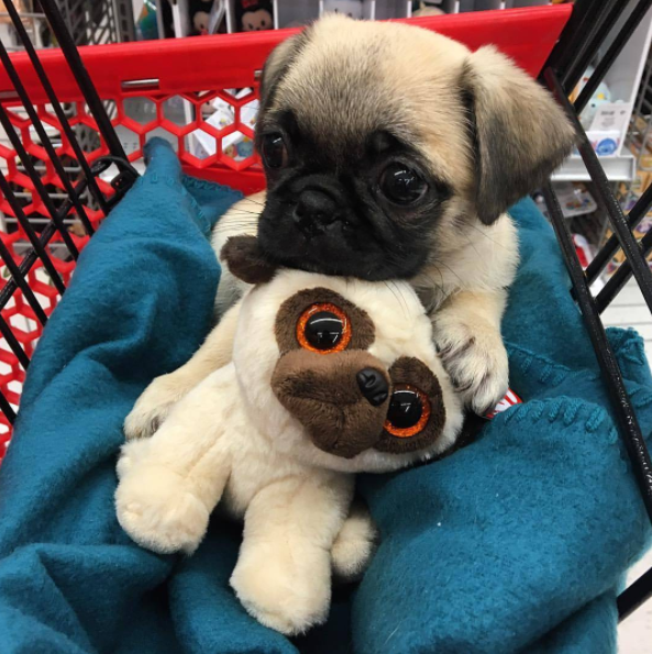 Their Eyes Are Like Stuffed Animals Eyes 19 Baby Pugs So