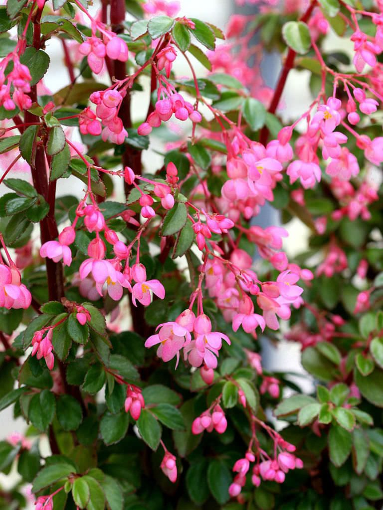 Begonia Fuchsioides Fuchsia Begonia Nel 2020 Con Immagini Fiori