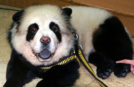 The Panda Chow Chow Panda Dog Panda Puppy Dogs