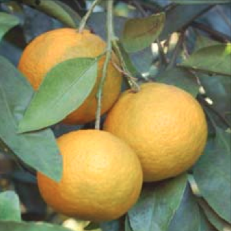 Tips On Growing And Harvesting Oranges Grapefruit Tangerines Lemons Limes From The Duval County Extension Office