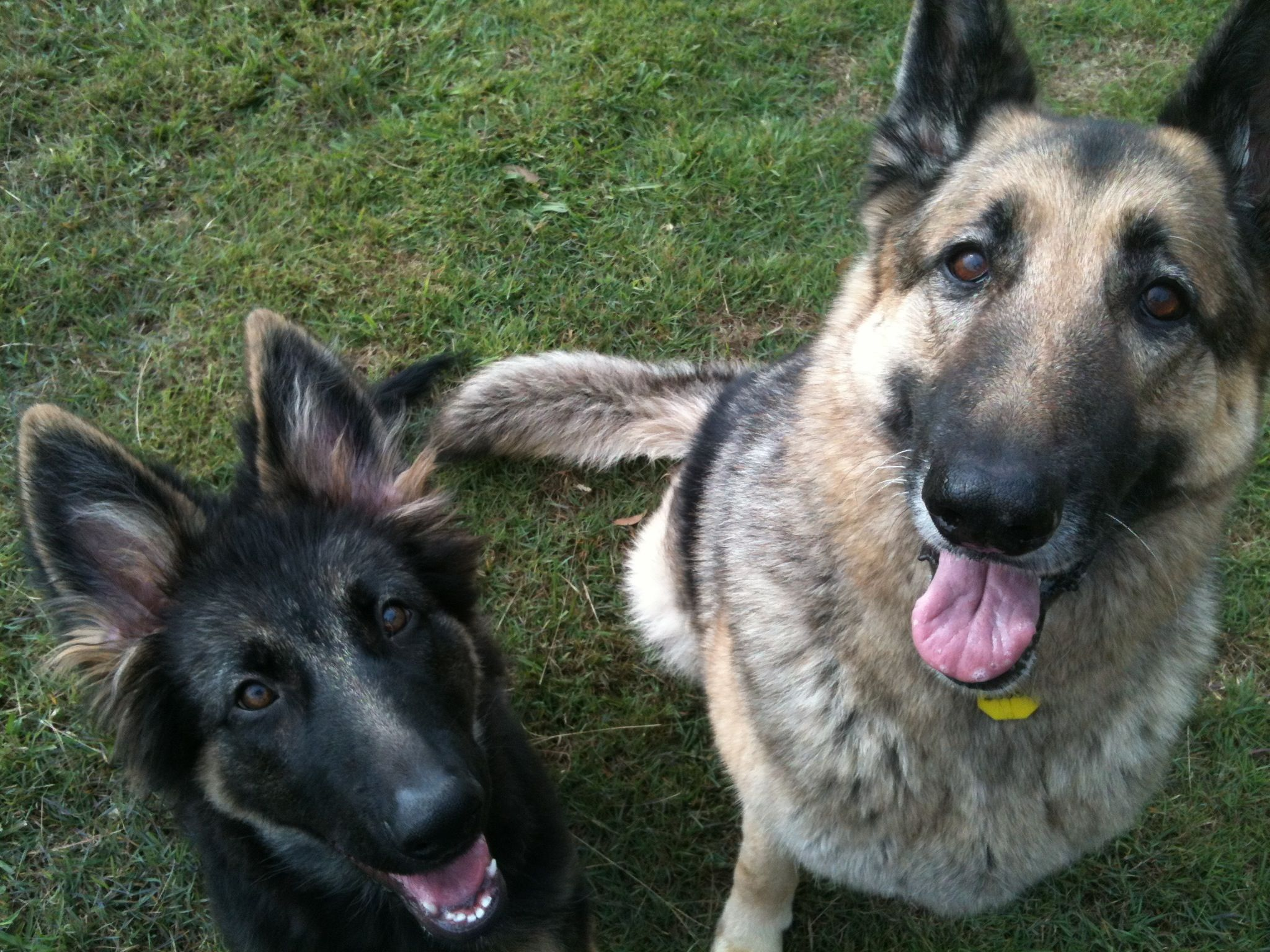 Indie And Keesha Gsd German Shepherd Dogs Shepherd Dog Dogs