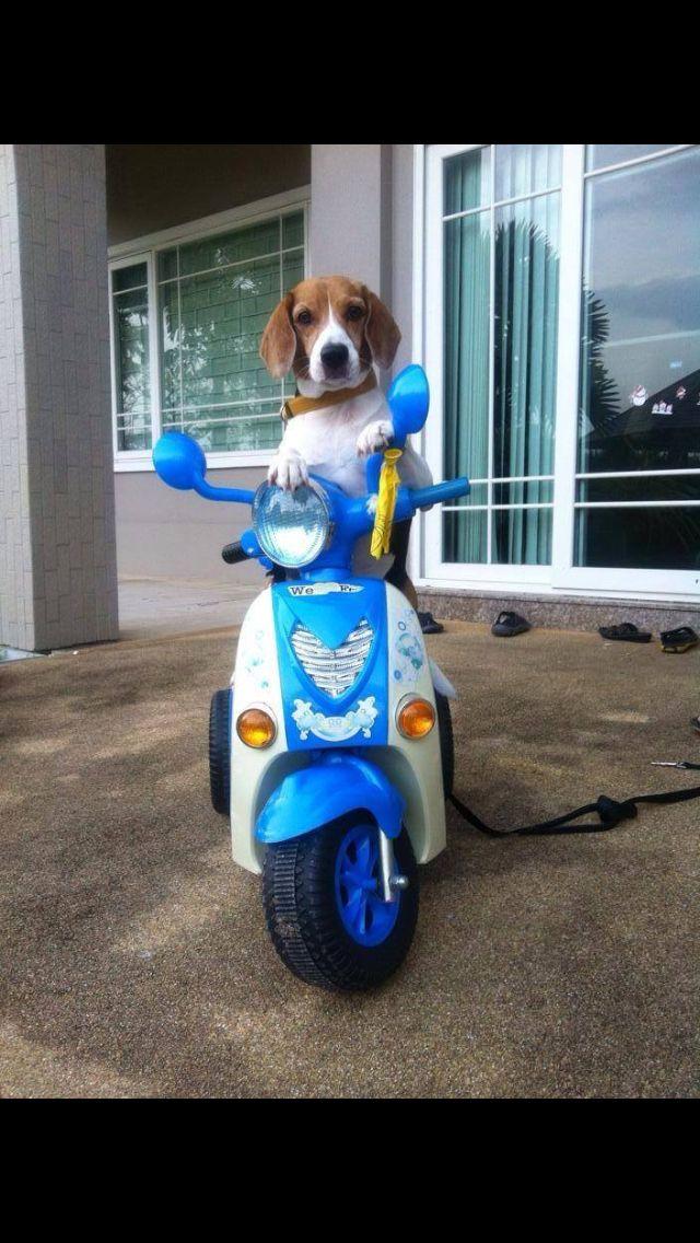 Lol....... That Beagle look I just love it! :D x