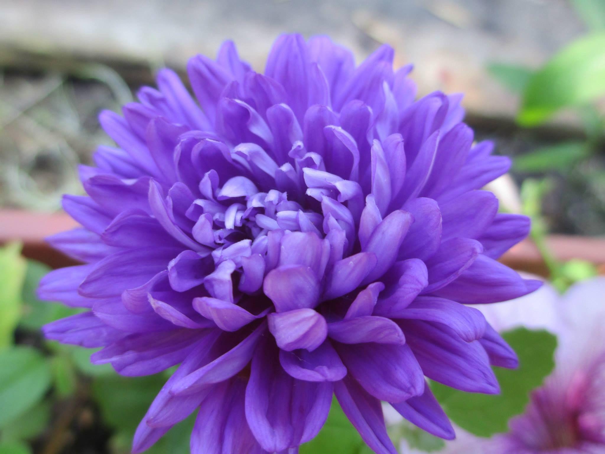 A Milady Deep Blue Aster Grown By Swallowtail Garden Seeds Customer