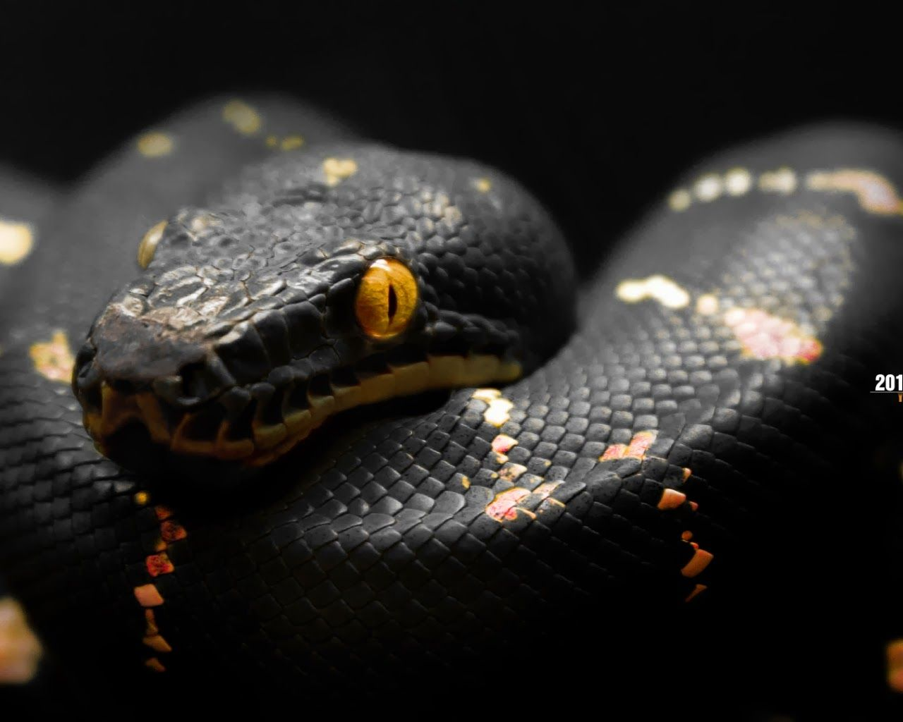 world best dangerous snake hd wallpapers - hd wallpapers blog