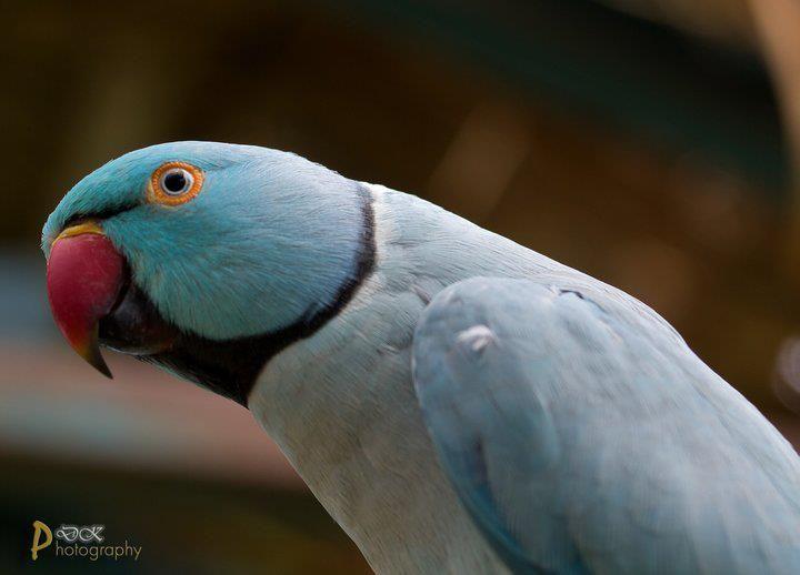 blue indian ringneck parakeet | Birds/Parrots | Pinterest