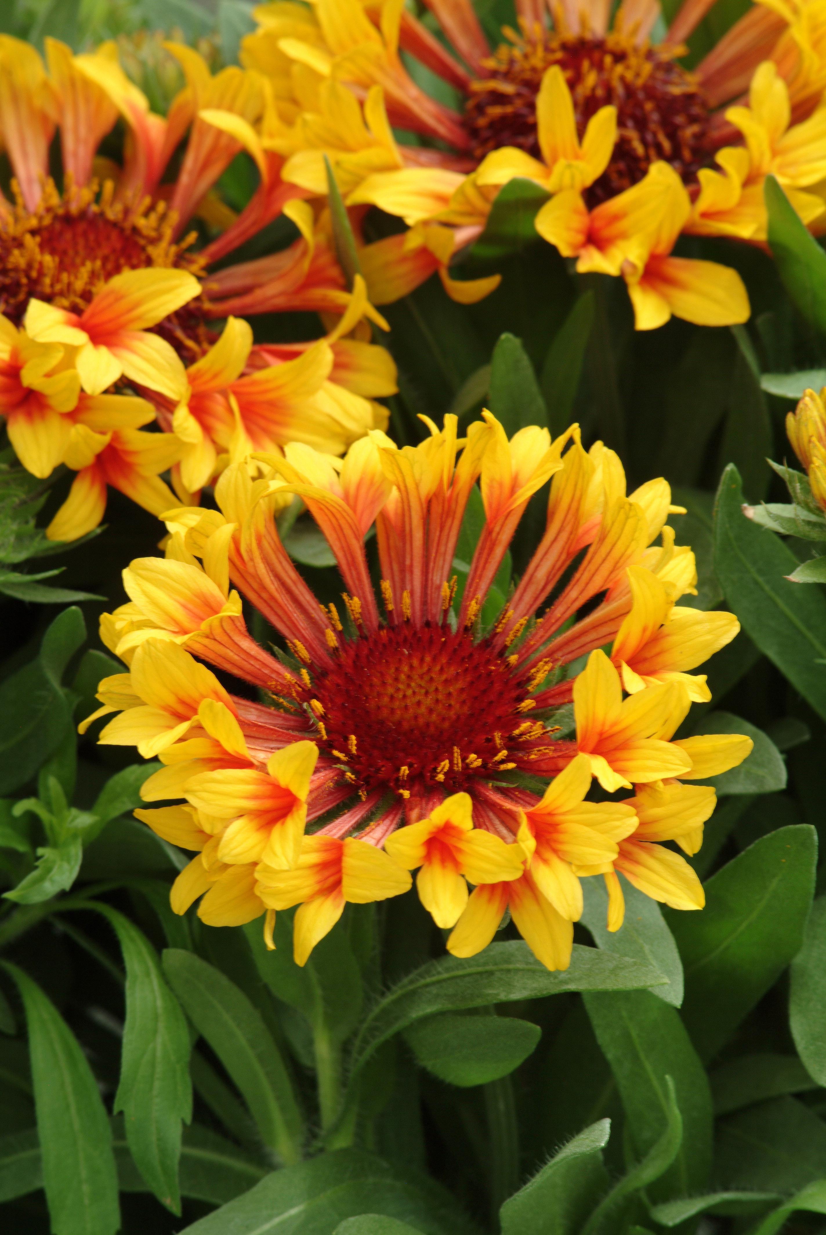 Latin Name Gaillardia Common Name Gaillardia Type Perennial