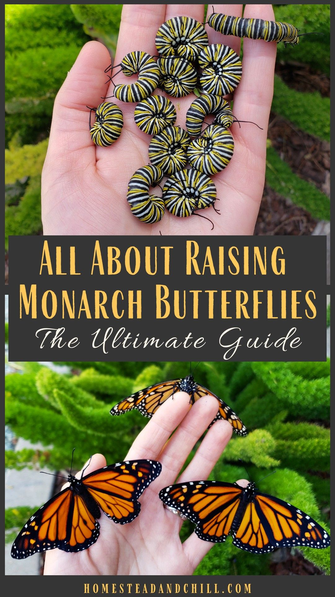 How to Attract, Raise & Release Monarch Butterflies