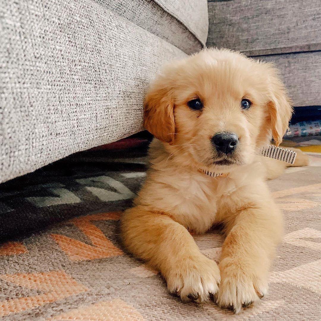 Cute puppies dog mommy dogs golden retriever golden
