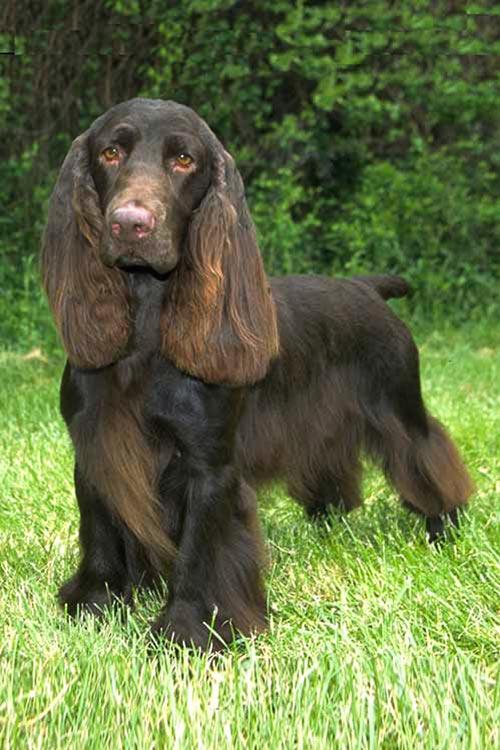 Field Spaniel Dog Breed Information Field Spaniel Akc Dog Breeds Dog Breeds