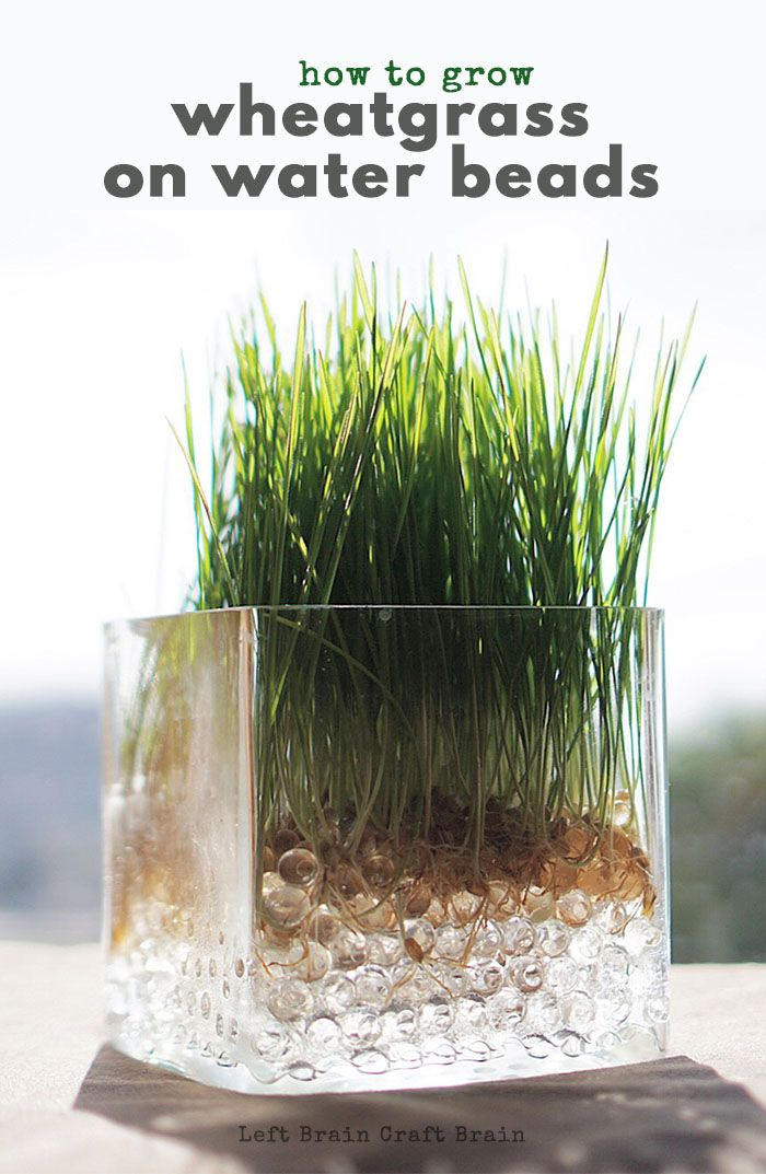 Super Easy Science How To Grow Wheatgrass On Water Beads Left