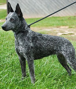 Australian Stumpy Tail Cattle Dog Breed Info Pictures Characteristics Hypoallergenic No Austrailian Cattle Dog Dog Breed Info Aussie Cattle Dog