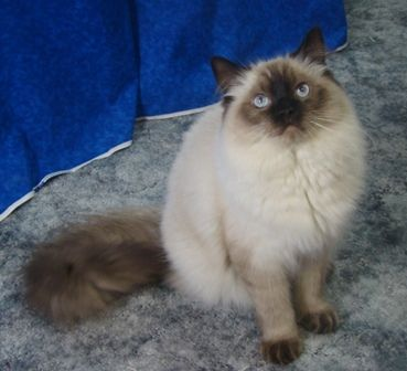 A Pretty And Young Sealpoint Colorpoint Ragdoll Cat His Her Coloring Is Still Coming In