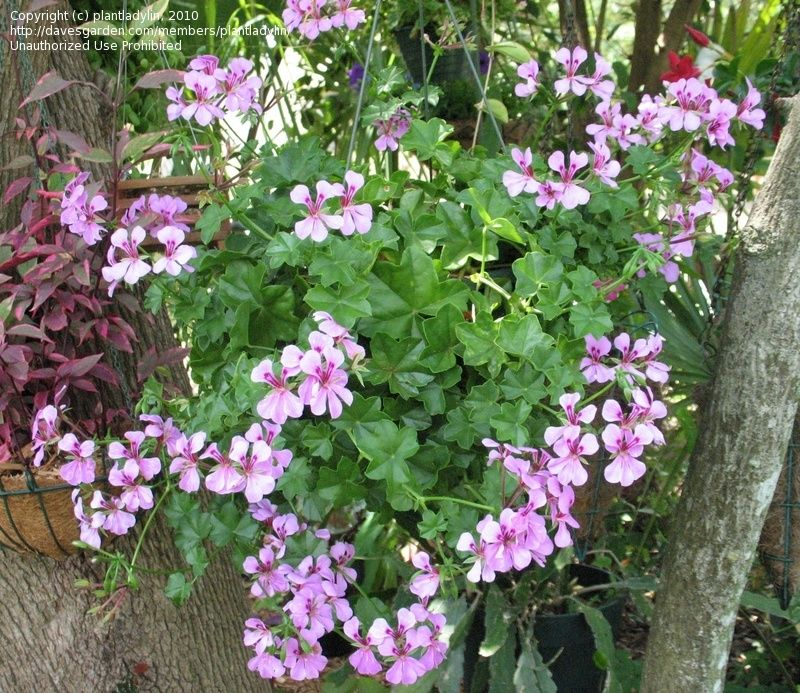 Full size picture of ivy geranium ivy leaf geranium pelargonium peltatum garden pinterest - How to care for ivy geranium ...