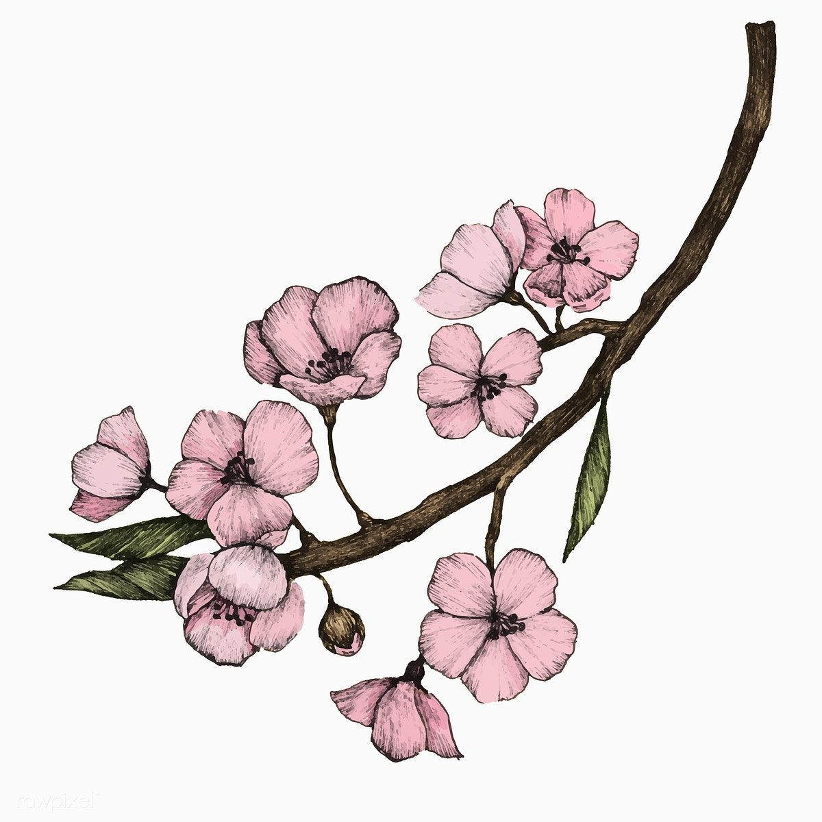 Download premium vector of Illustration of Cherry Blossom