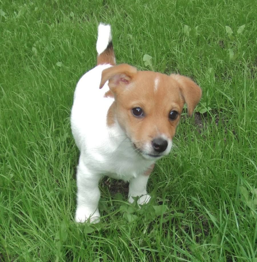 chihuahua/jack russell mix puppies for sale Jack+russell