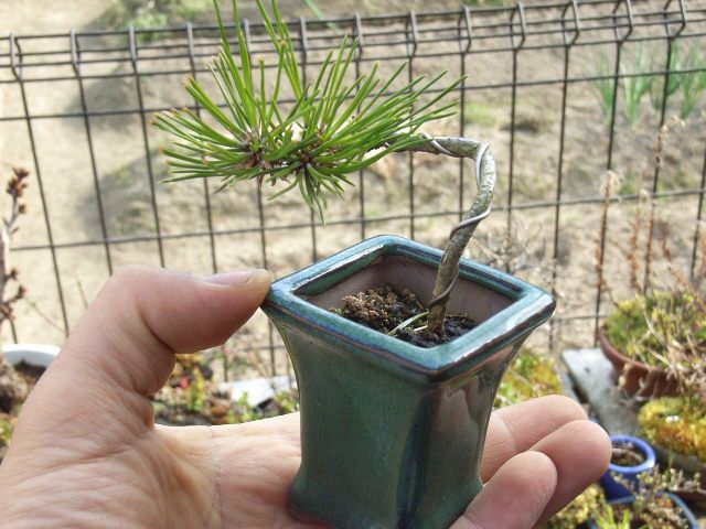 Three Year Old Pine Seedling Wired For Future Bonsai Development Pine Seedlings Pine Bonsai Pine Cone Tree