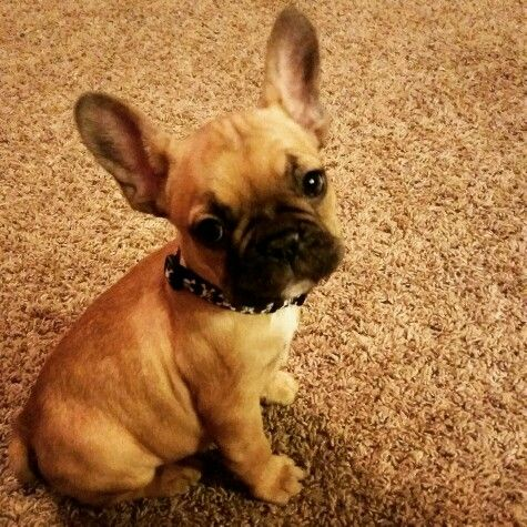 French Bulldog Puupy French Bulldog Bulldog Puppies Puppies