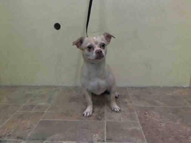 Manhattan Center Supreme A1023405 Male Cream White Chihuahua